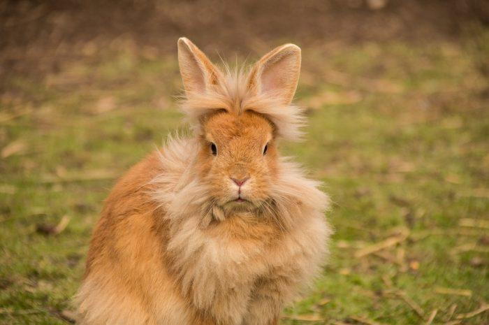 Comment savoir si un lapin apprécie les caresses ?